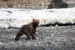 Bear on the coast of the Okhotsk sea in spring. Stock Images