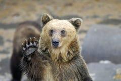 Bear Communication. Huge Brown Bear waving Hello Royalty Free Stock Photos