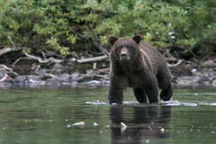 Bear Concentration Royalty Free Stock Photography