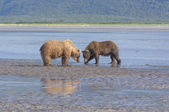 Bear Confrontation in the Wilds. In Hallo Bay in Katmai National Park in Alaska Royalty Free Stock Photo