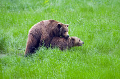 Bear couple Royalty Free Stock Photos