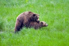 Bear couple Royalty Free Stock Photos