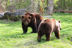 Bear couple. Two bear in the zoo Stock Photo