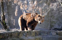 Bear in a croft Stock Photography