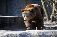 Bear in a croft Royalty Free Stock Images