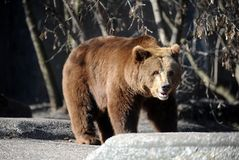 Bear in a croft Stock Images