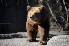 Bear in a croft Royalty Free Stock Photo