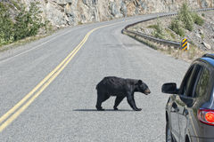 Bear crossing the road in Alaska Britsh Columbia Stock Photos