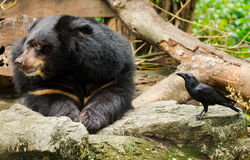 Bear and Crow. Stock Photography