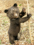 Bear cub. In the center of rehabilitation of animals Stock Image