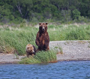 Bear with Cub Stock Image
