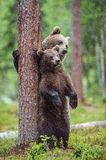 Bear cub and she-bear stood up on its hind legs. Bear and Cubs of Brown bear (Ursus Arctos Arctos) in the summer forest. Stock Image