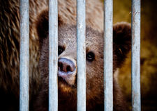 Bear cub behind bars Royalty Free Stock Photos
