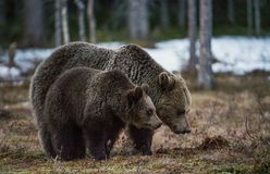 She-bear and Bear-cub on a bog. Royalty Free Stock Image