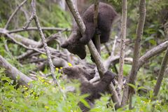 Come up here bear brother. Bear cub brothers playing up a tree in green forest and lush meadow with plants Royalty Free Stock Images