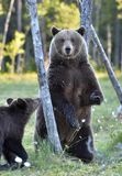 The She-Bear and Cub. Brown Bear Ursus Arctos standing on hinder legs. In the summer forest Natural green Background stock photos