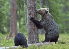The She-Bear and Cub of Brown Bear (Ursus Arctos) standing on hinder legs  in the summer forest Stock Photo