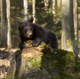 Bear cub Stock Images