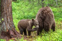 She-Bear and Cub of Brown bear in the summer forest. Natural habitat. Scientific name: Ursus Arctos Arctos.  royalty free stock images