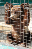 Bear cub in a cage Royalty Free Stock Photos
