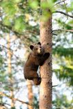 Bear cub climb up a tree royalty free stock photos
