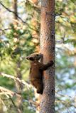 Bear cub climbing Stock Photography