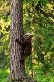 Bear cub climbing Royalty Free Stock Image