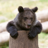 Bear Cub Stock Photography