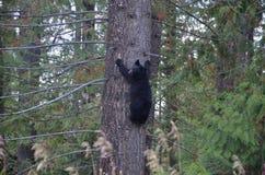 Bear cub in a tree royalty free stock photos