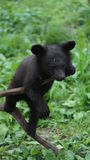 Bear cub Royalty Free Stock Images