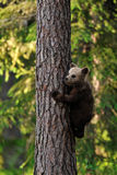 Bear cub climbs up the tree Stock Photography