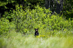 Bear Cub Royalty Free Stock Image