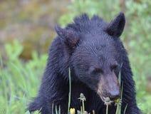 Bear cub eating dandelions near Banff, Alberta stock photography
