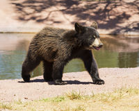 Bear Cub Fun. Bear cub walking away from water pond Stock Photo