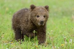 Free Bear Cub In Spring Grass. Dangerous Small Animal In Nature Meadow Habitat Stock Images - 184040064