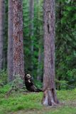 Bear cub lying against a tree Stock Photos