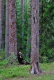 Bear cub lying against a tree Stock Photos