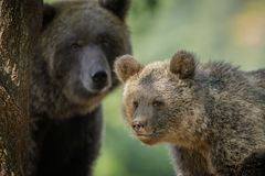 Bear cub and mother Royalty Free Stock Image