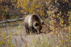 Bear cub in north America. Fluffy grizzly bear cup in wild landscape on North America stock photography