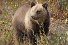 Bear cub in north America. Fluffy grizzly bear cup in wild landscape on North America stock image