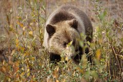 Bear cub in north America. Fluffy grizzly bear cup in wild landscape on North America royalty free stock photos