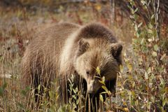 Bear cub in north America royalty free stock photography
