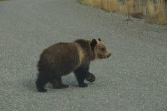 Bear cub in north America royalty free stock photos
