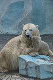 Bear with a cub in the Novosibirsk zoo summer.  royalty free stock image