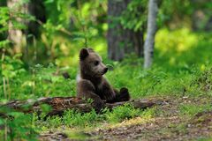 Bear cub resting Stock Images