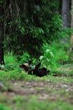 Bear cub resting Royalty Free Stock Photos