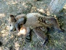 Bear cub rests Royalty Free Stock Photos