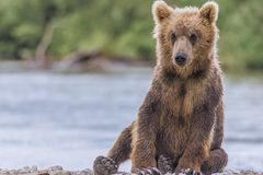 Bear cub Royalty Free Stock Photography