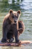 Bear cub Royalty Free Stock Photo