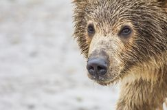 Bear cub Stock Photos
